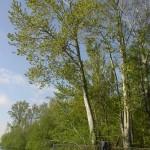 Cottonwood 8 (1)