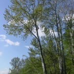 Cottonwood 8 (6)